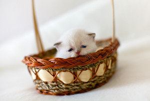 Little white kitten in a basket