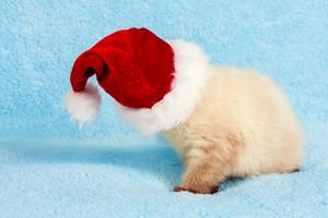 Little white kitten wearing santa hat