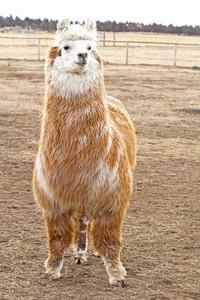 Llama Animal 180