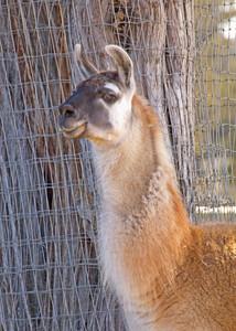 Llama Animal
