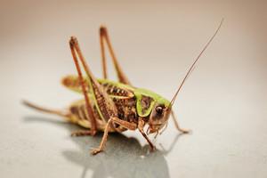 locust, grasshopper closeup