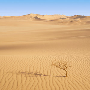 Lone, bare tree growing in an endless sandy desert