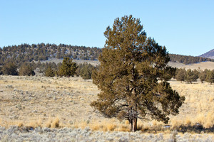 Lone Juniper Tree