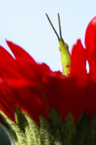 Long horned grasshopper or cricket on red flower