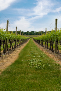 Long row of grape vines planted in the fields of a vineyard.