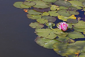 Lotus Flower In River