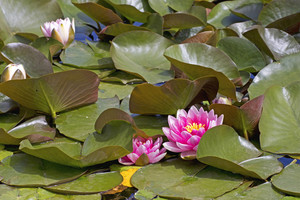 Lotus Flowers Image