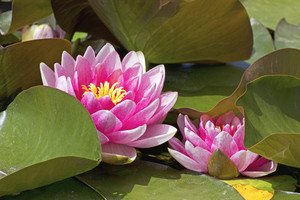 Lotus Flowers With Leaves