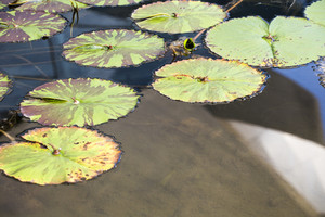 Lotus Leaf on pool water in hotel