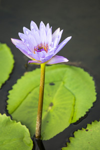 Lotus. Water lily flower