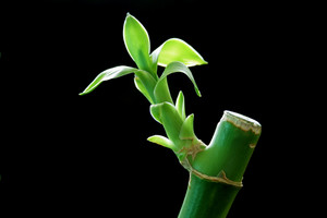 Lucky Bamboo Stick
