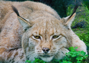 Lynx portrait. Animal face