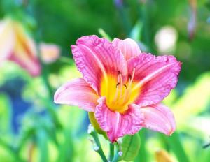 Macro Red Daylily