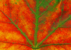 Macro Shot Of A Beautiful Autumn Maple Leaf