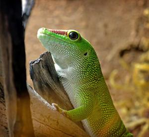 Madagascar Gecko