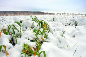 Maize field covered with first snow