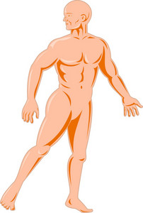 Male Human Anatomy Standing