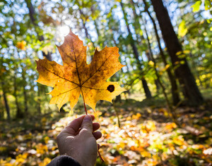 Man hand holding autumnal maple leaf on forest background. Nature close up