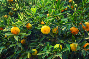 Mandarin tree background