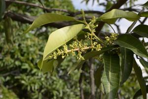 Mango Flower