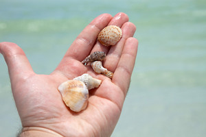 Mans hand holding sea shells from the number one rated Siesta Key beach located in Clearwater Florida USA. Shallow depth of field.