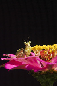 Mantis close up on pink flower isolated on black background