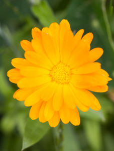 Marigolds blooming in garden. Close up of beautiful orange flowers. Marigolds is herb-flowers used in homeopathy.