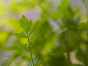 Close up of parsley leaves. Herb close up