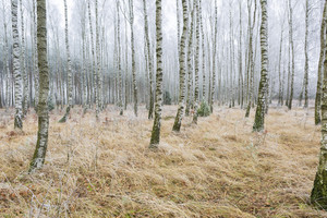 Frosty birch forest in winter. Polish rural countryside. Close up of birch trees trunks