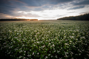 Blooming buckwheat field. Natural polish landscape