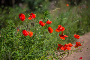 Red blossoming poppy flowers