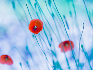 Beautiful poppy flowers with blue mood. Close up of red flowers.--