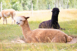 Alpaca on farm. Animal portrait