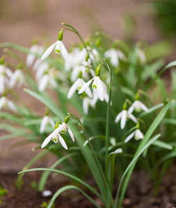 Beautiful small white snowdrops flowers. First springtime flowers blooming.
