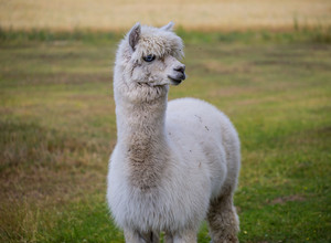 Alpaca on farm. Animal portrait