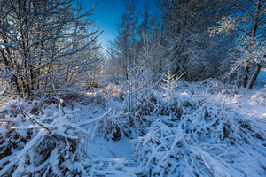 Beautiful landscape of snow covered trees in morning forest.