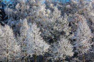 Beautiful close up of frosted or covered by snow trees branches in winter. Nature abstraction