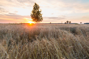 Sunset over wheat field and birch tree--