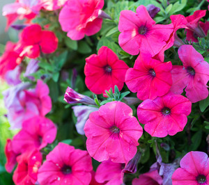 Close up of growing pink petunia flowers.