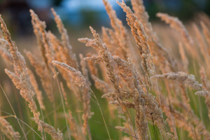 Close up of foxtail grass flowers. Nature background
