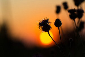 Silhouette of thistle flowers on sunset sky