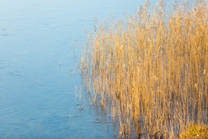 Close up of withered reeds on frozen lake shore. Landscape without sky.