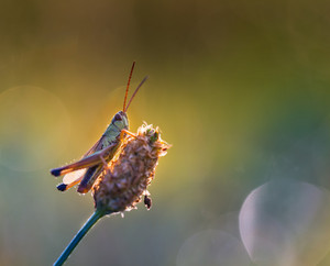 Beautiful grasshopper resting on grass. Colorful macro of insect.--