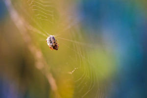 Macro of spider sitting on his web in morning light. Colorful photo.