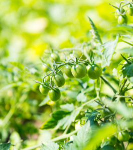Small green cherry tomatoes growing in garden