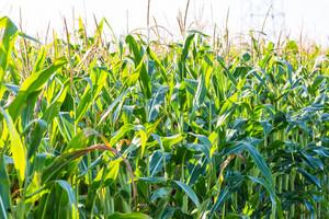 Close up of corn field at summer.