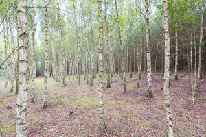 Young birch trees in birch forest. Close up of trees trunks