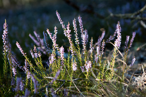 Beautiful blooming heather flowers in sunlight close up. Polish autumnal forest flowers.
