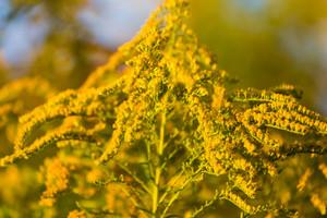 Goldenrod branches in sunlight.