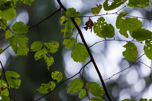 Green leaves on tree branch